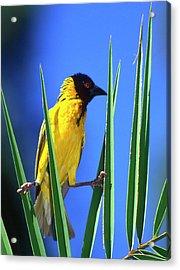 Kenya Masked Weaver Bird Grasps Leaves Acrylic Print by Jaynes Gallery