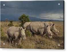 Kenya, Southern White Rhinos In Ol Acrylic Print by Ian Cumming