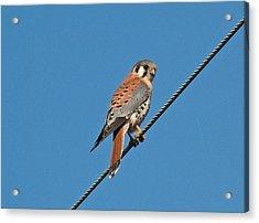 Kessler Hawk  Acrylic Print