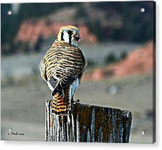 Acrylic Print featuring the photograph Kestrel by Fiskr Larsen