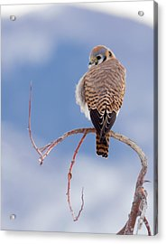 Acrylic Print featuring the photograph Kestrel In The Cold by Jeremy Farnsworth