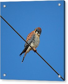 Kestrel On A Wire Acrylic Print