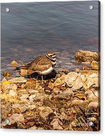 Kildeer On The Rocks Acrylic Print by Robert Frederick