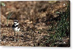 Killdeer Chick Acrylic Print by Skip Willits