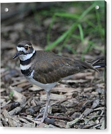 Killdeer Acrylic Print by Dan Sproul