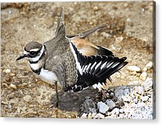Acrylic Print featuring the photograph Killdeer Fakeout by Shane Bechler