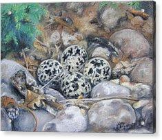 Killdeer Nest Acrylic Print