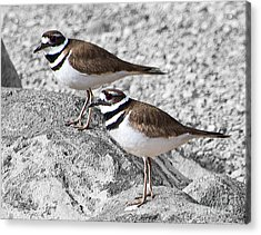 Killdeer On Gray Acrylic Print