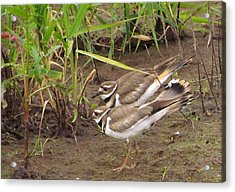 Acrylic Print featuring the photograph Killdeer Pair by I'ina Van Lawick