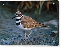 Killdeer Acrylic Print by Paul J. Fusco