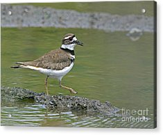Killdeer Walking Acrylic Print by Sharon Talson