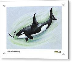 Killer Whale Feeding Acrylic Print