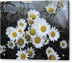 Kindergarten Daisies Acrylic Print by Suzanne Perry