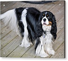 King Charles On The Boardwalk Acrylic Print by Kristina Deane