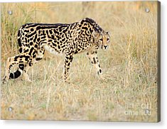 King Cheetah - South Africa Acrylic Print by Birdimages Photography