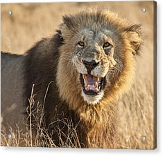 King Of Beasts Acrylic Print by Jennifer