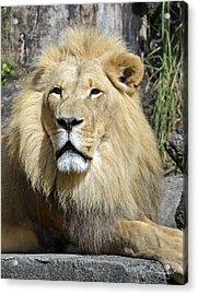 King Of Beasts Acrylic Print