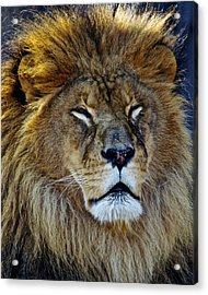 King Of The Beasts Acrylic Print by Frozen in Time Fine Art Photography