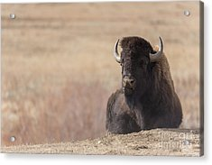 King Of The Hill At Custer State Park South Dakota Acrylic Print