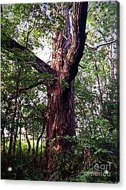 King Of The Timberline Acrylic Print by Garren Zanker