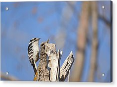Acrylic Print featuring the photograph King Of The Tree Top by Dacia Doroff