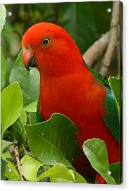 Acrylic Print featuring the photograph King Parrot Portrait by Margaret Stockdale