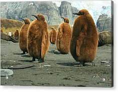 King Penguin Chicks Acrylic Print
