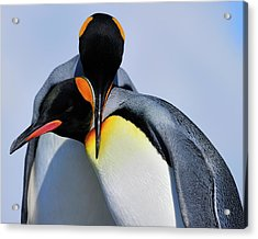 King Penguins Bonding Acrylic Print by Tony Beck