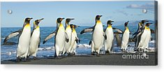 King Penguins Coming Ashore Gold Harbour Acrylic Print