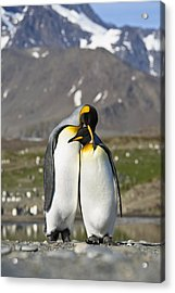 King Penguins Courting St Andrews Bay Acrylic Print