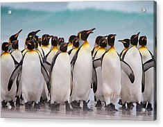 King Penguins Acrylic Print