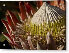 King Protea Acrylic Print by Aaron Bedell