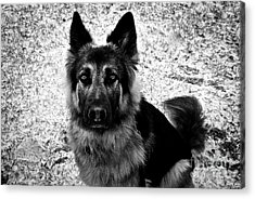 King Shepherd Dog - Monochrome  Acrylic Print