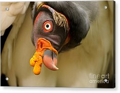 King Vulture Acrylic Print by Mark Bowler