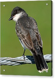 Kingbird On A Wire Acrylic Print