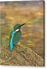Kingfisher At Rest Acrylic Print by Paul Scoullar