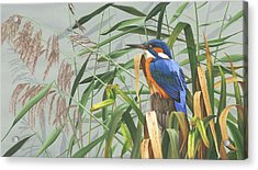 Kingfisher Acrylic Print by Clive Meredith