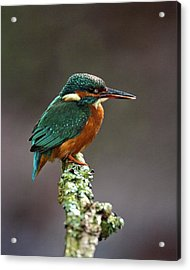 Acrylic Print featuring the photograph Kingfisher by Paul Scoullar