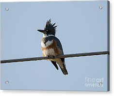 Kingfisher Profile Acrylic Print