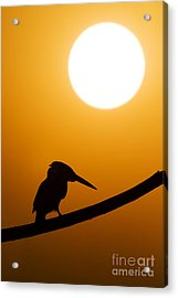 Kingfisher Sunset Silhouette Acrylic Print by Tim Gainey