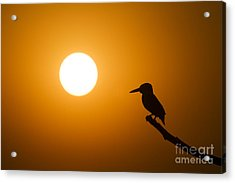 Kingfisher Sunset Acrylic Print by Tim Gainey