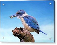 Kingfisher With Grub Acrylic Print