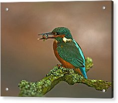 Kingfisher With Stickleback Acrylic Print by Paul Scoullar