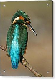 Kingfisher1 Acrylic Print