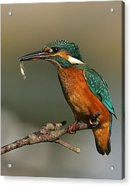 Kingfisher2 Acrylic Print