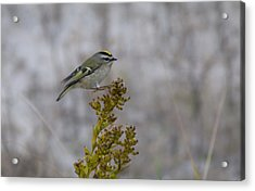 Acrylic Print featuring the photograph Kinglet by Greg Graham