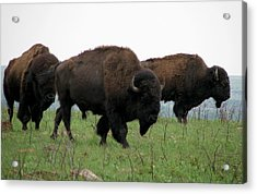 Kings Of The Prairie Acrylic Print