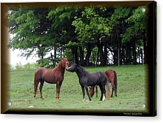 Kissing Cousins- The Paso Fino Stallions Acrylic Print by Patricia Keller