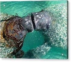 Kissing Manatees Near Harbour Island Acrylic Print