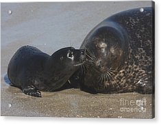 Kissing Seals Acrylic Print by Ruth Jolly